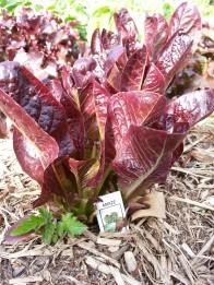 Amaze lettuce